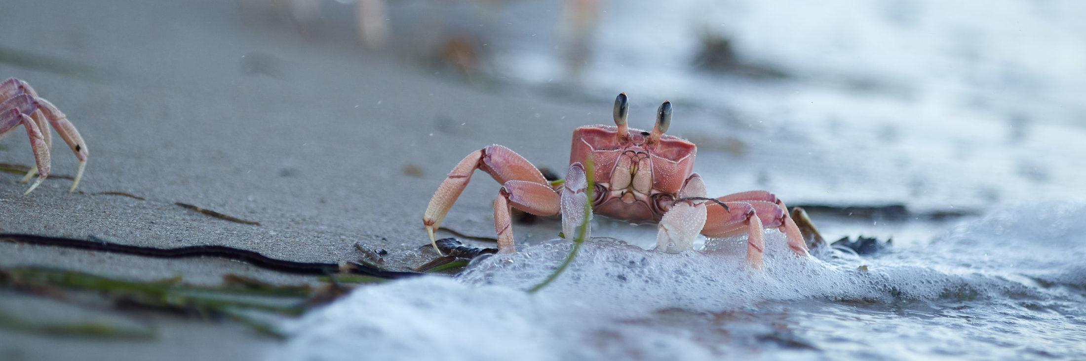 Weltenlaeufer - Tanzania Crab